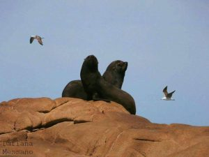 Lobos Cabo Polonio